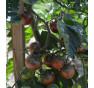 Rajče tyčkové, Black Cherry