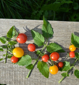 Mix divokých rajčat