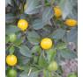 Gelbe Kirschen