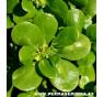 Šrucha zelná setá