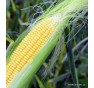 Damaun | kukuřice cukrová | permaseminka.cz