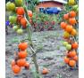 Auriga | rajče tyčkové | PERMASEMÍNKA.CZ
