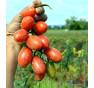 Donatellina | rajče tyčkové | PERMASEMÍNKA.CZ