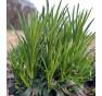 Zvonek broskvolistý: Z jedné dvouleté rostliny vyraší až dvacet jedlých výhonů | PERMASEMÍNKA.CZ