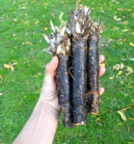 Černý kořen - Libochovický  | PERMASEMÍNKA.CZ