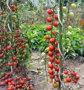 Red Cherry - rajče tyčkové | PERMASEMÍNKA.CZ