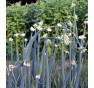 Cibule poschoďová, stará odrůda Pinkava