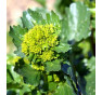 Barborka obecná - divoká brokolice.