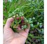 Polníček v květu: Brzy začne tvořit semena a vysemení se...