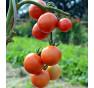 Resibella | rajče tyčkové | PERMASEMÍNKA.CZ