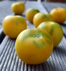 Wapsipinicon peach - broskvové rajče | permaseminka.cz