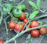 Ostravské rané  rajče keříčkové   PERMASEMÍNKA.CZ