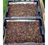 Beefy Resilient Grex | fazol | PERMASEMÍNKA.CZ