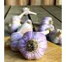 Hanácký paličák | česnek kuchyňský | allium sativum |