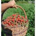 Divoké červené