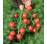 Rajče divoké červené