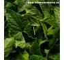 Vytrvalý popínavý špenát