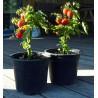Bogus Fruchta (balkonové rajče)