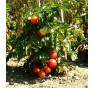 Bogus Fruchta
