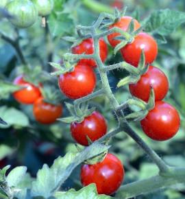 Divoké rajče - Matt's Wild Cherry