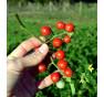 Divoké rajče klokaní