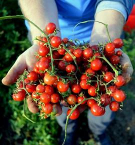 Divoké rajče klokaní - trsy plodů