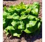 Stupický kamenáč - salát