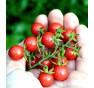 Rote Murmel - divoké rajče