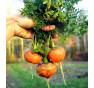 Parmex - mrkev s kulatým kořenem