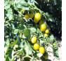 Green Envy - zelené rajče, tyčkové