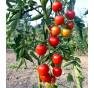 Dorenia - tyčkové rajče
