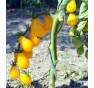 Yellow Submarine - žluté rajče, hruškovitý tvar