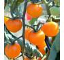 Clou - tyčkové rajče