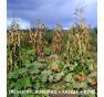 Helda - fazol tyčkový, na zelené lusky