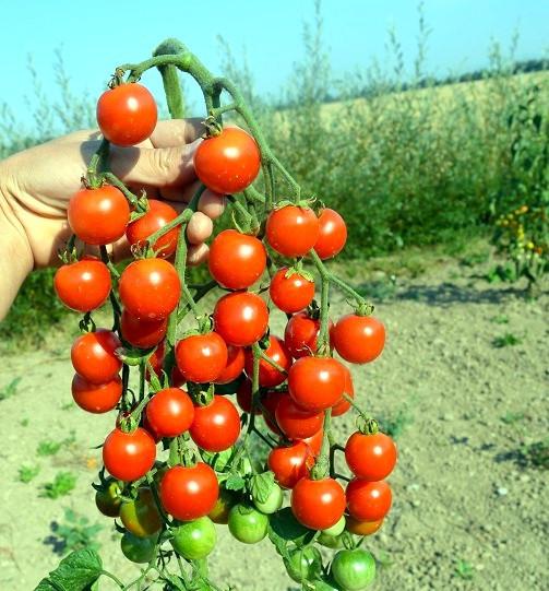 Primavera - tyčkové rajče