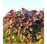 Burgundský amarant