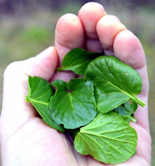 Barborka obecná: Listy krátce povaříme a máme skvělý špenát.
