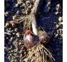 Česnek ořešec